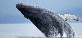 Sognare balena: Significato, interpretazione e numeri al lotto