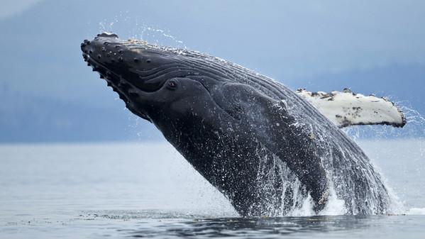 Sognare balena