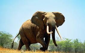 Sognare elefante