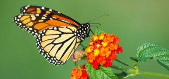 Sognare una farfalla: Significato, interpretazione e numeri al lotto