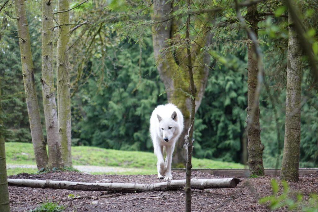 Sognare lupi