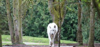 Sognare lupi: Significato, interpretazione e numeri al lotto