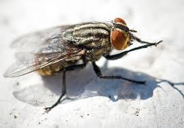 Sognare mosche