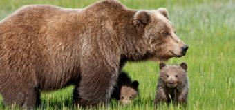 Sognare orso: Significato, interpretazione e numeri al lotto