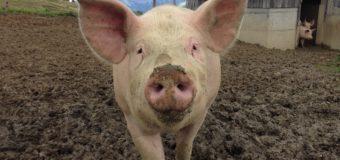 Sognare un maiale: Significato, interpretazione e numeri al lotto