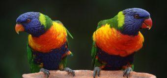 Sognare un pappagallo: Significato, interpretazione e numeri al lotto