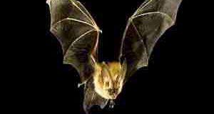 Sognare pipistrelli, sogno ed interpretazione