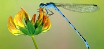Sognare una libellula, significato ed interpretazione