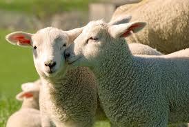 Sognare l'agnello