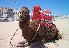 Sognare un cammello