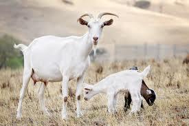 Sognare una capra