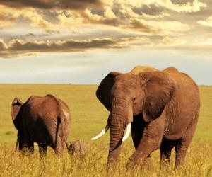 Sognare un elefante