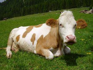Sognare una mucca
