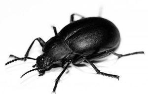 Sognare uno scarafaggio