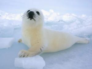 Sognare una foca