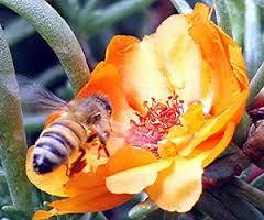 sognare un'ape